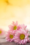 Floral vintage background with gerbera flowers on wooden backdro Royalty Free Stock Photography