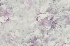 Floral  vintage beautiful background. Wallpapers of flowers light pink-white peony. Flower composition. Close-up. Stock Images