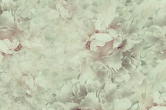 Free Floral  Vintage Beautiful Background. Wallpapers Of Flowers Light Pink-white Peony. Flower Composition. Close-up. Stock Photo - 98659440