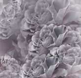 Floral  vintage  gray-pink beautiful background.  Flower composition. Bouquet of flowers from  gray  roses. Close-up. Nature Stock Photography