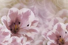 Floral  vintage  violet-white beautiful background.  Flower composition. Greeting card from  purple-white lilies on a pink backgro. Und. Close-up. Nature Royalty Free Stock Image