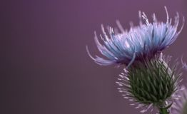 Floral violet background.  Blue thorny thistle flower. A blue flower on a  violet background. Closeup. Royalty Free Stock Photos