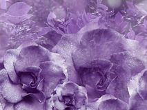 Floral  violet background from roses.  Flower composition. Flowers with water droplets on petals. Close-up. Nature Royalty Free Stock Images
