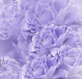 Floral violet-white beautiful background. Flower composition. Bouquet of flowers from light purple roses. Close-up. Nature royalty free stock photo