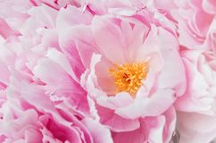 Floral wallpaper, background from flower petals. Trend colors pink and blue. Beauty peony, peonies, roses flowers. Bloom love conc Royalty Free Stock Images