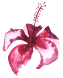 Floral watercolor painting. Watercolor painting of Hibiscus flower Royalty Free Stock Photo