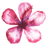 Floral watercolor painting. Watercolor painting of mulberry flower Royalty Free Stock Photography