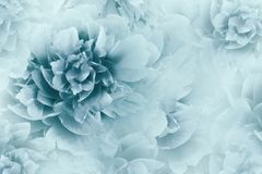Floral white-blue background. Peonies flowers close-up on a transparent halftone light blue background. Greeting card. Nature. Floral white-blue background stock photography