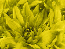 Floral yellow beautiful background of Chrysanthemums. Wallpapers of yellow flowers.  Closeup, Royalty Free Stock Photography