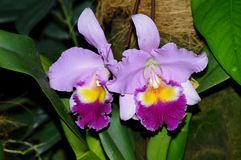 Floralia Orchid Stock Photos