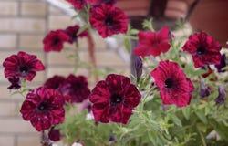 Floraliebesblumenblattpetunienblumenstraußrosen des Sommers der Primelazalee Blütenschönheits-Gartenblume rotes f der hellen bunt Lizenzfreies Stockfoto