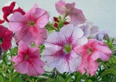 Floraliebesblumenblattpetunienblumenstraußrosen des Sommers der Primelazalee Blütenschönheits-Gartenblume rotes f der hellen bunt Lizenzfreie Stockbilder