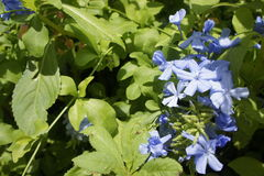 Florals. Little blue flowers taken in the sun Stock Photography