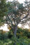Floran och faunorna av Krugeren parkerar Arkivbild