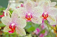 Floraorchideeën Royalty-vrije Stock Foto's