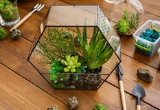 Florarium, plants, moss stones and tools on table. Glass geometric florarium vase with succulent plants, decorative stones, moss and various tools on wooden royalty free stock photo