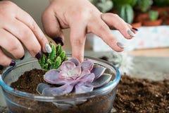 Florarium z sukulentami, przeszczep rośliny, pojęcie Ziemski d zdjęcia royalty free