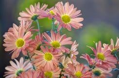 Florascape. A florascape of gerberas Stock Photos