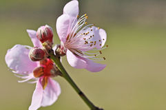 Flordaprince Peach Blossom Stock Image