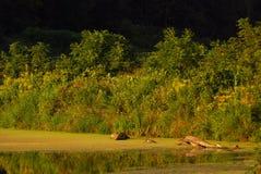 Flore au bord du `s d'étang Image stock