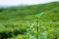 Flore non désirée dans des plantations de thé chez Cameron Highlands, Malaisie Photographie stock