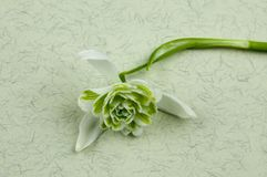 Flore Pleno för Galanthus nivalis` `, Royaltyfria Foton