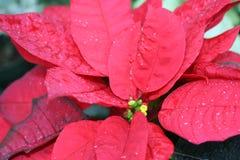 Flore : Poinsettia Photo libre de droits
