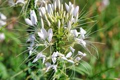 flore, usine, fleur, famille de câpre, cardon, papillon de chou, oreille, transitoire, capitulum photographie stock