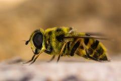 Florea de Myathropa hoverfly dans le profil Image stock