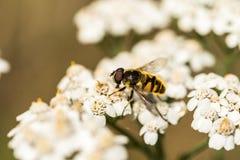 Florea de Myathropa hoverfly en el millefolium de Achillea Imágenes de archivo libres de regalías