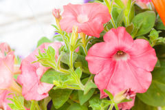 Floreale rosa Fotografie Stock Libere da Diritti