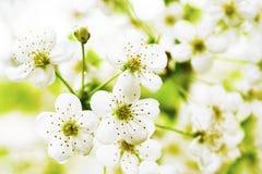 Florece árboles de la baya. Fotografía de archivo libre de regalías