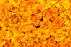 Florece amarillo del fondo de la maravilla Imagen de archivo libre de regalías