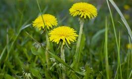 Florece amarillo medicinal del diente de león Foto de archivo