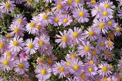 Florece asteres Imagen de archivo