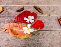 Florece champaca Imagenes de archivo