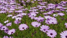 Florece color púrpura foto de archivo libre de regalías