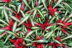 Florece cryptanthus Imágenes de archivo libres de regalías