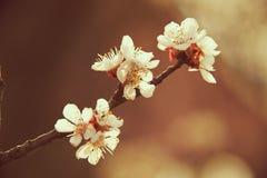 Florece el árbol frutal imagen de archivo