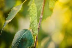 Florece el abedul del árbol con las hojas verdes jovenes Imagenes de archivo