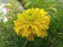 Florece el agua verde natural de las gotitas de la mañana del amarillo de la imagen Fotos de archivo libres de regalías
