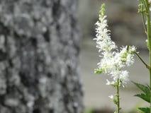 Florece el astilba blanco Imagen de archivo