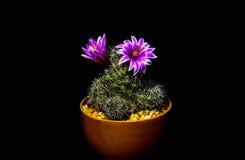Florece el cactus Foto de archivo