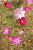 Florece el cosmos Foto de archivo