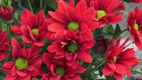 Florece el crisantemo en el jardín almacen de metraje de vídeo