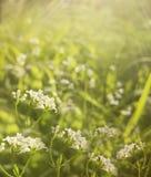 Florece el fondo hermoso floral del bosque Las flores blancas florecen en un claro en la sol en la puesta del sol en un día de ve Foto de archivo