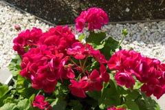 Florece el geranio rosado brillante con las hojas verdes Imagen de archivo libre de regalías