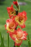 Florece el gladiolo Fotografía de archivo libre de regalías
