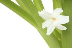 Florece el jacinto fotografía de archivo