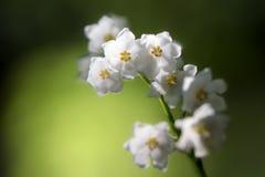 Florece el lirio de los valles en el contraluz del sol Imagen de archivo